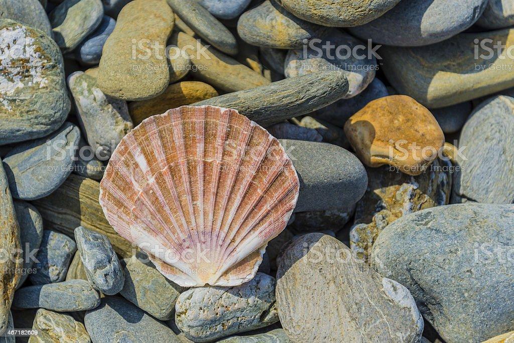 pecten shell on rock stock photo