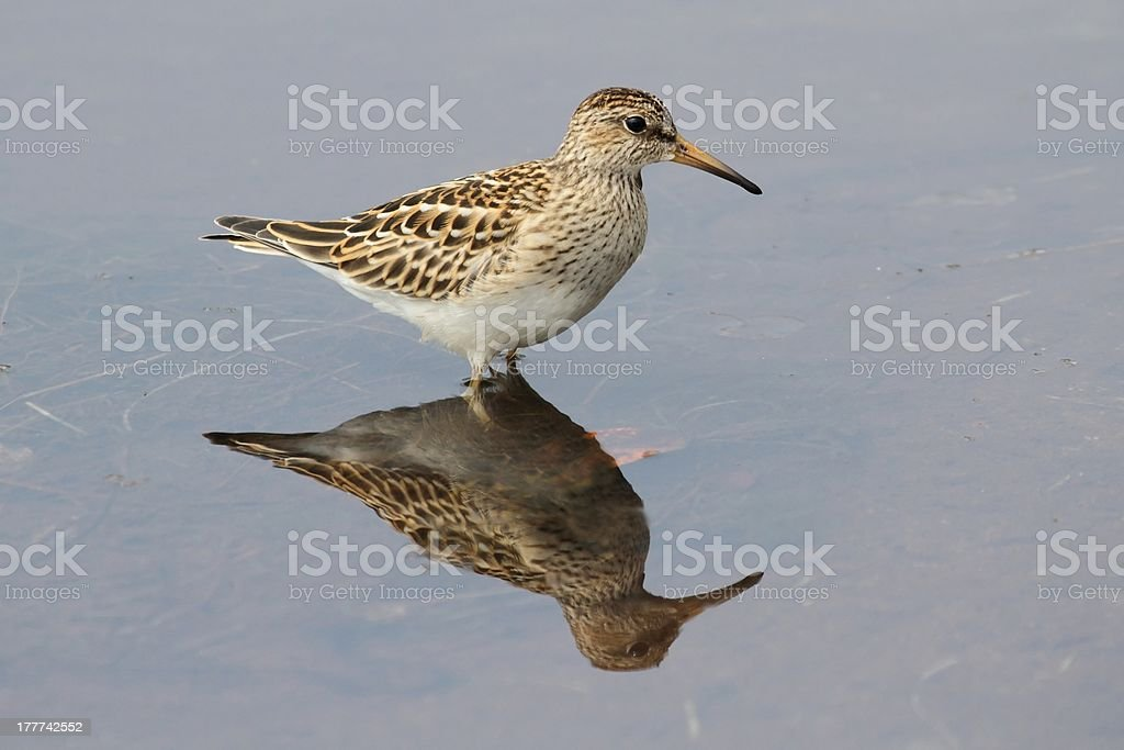 Pectoral Sandpiper (Calidris melanotos) royalty-free stock photo