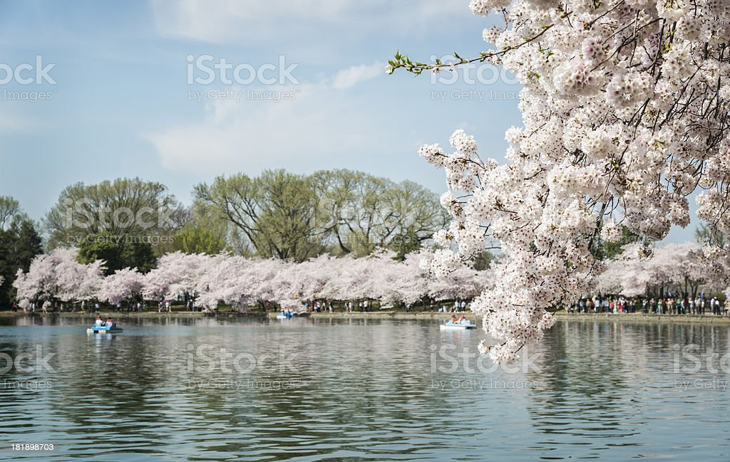 Pedal Boaters on Tidal Basin Enjoying the Cherry Blossom Festival royalty-free stock photo