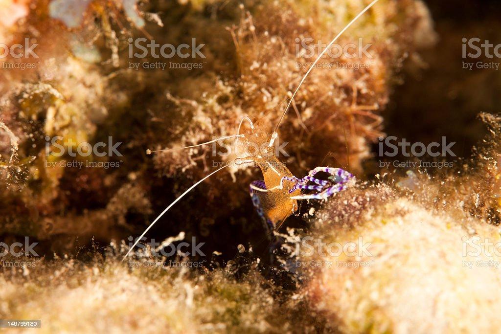 Pederson Cleaner Shrimp stock photo