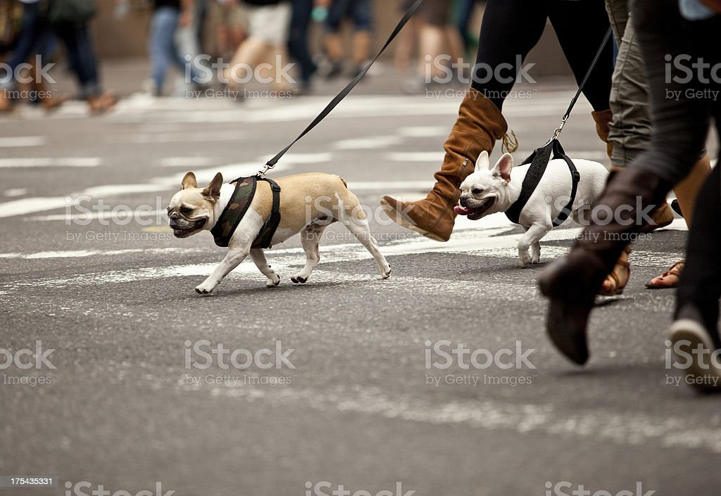 Pedestrians and dogs crossing at intersection, New York City royalty-free stock photo