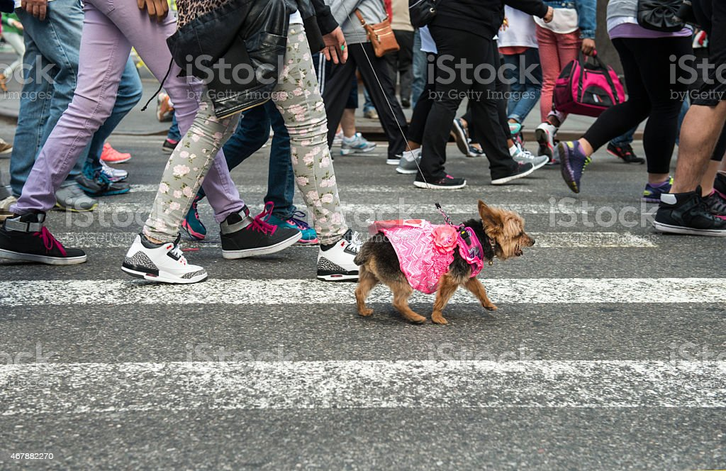 Pedestrians and dogs crossing at intersection, New York City stock photo