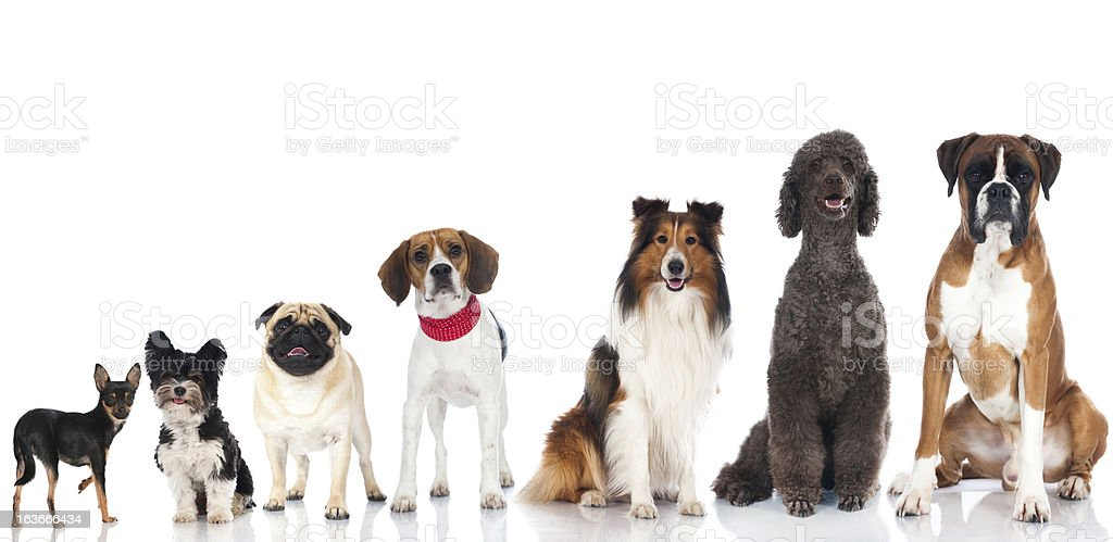Pedigree dogs stock photo