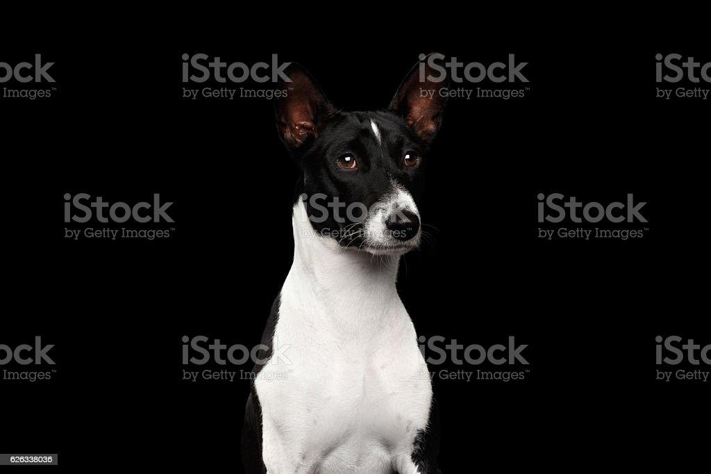 Pedigree White with black Basenji Dog on Isolated Background stock photo