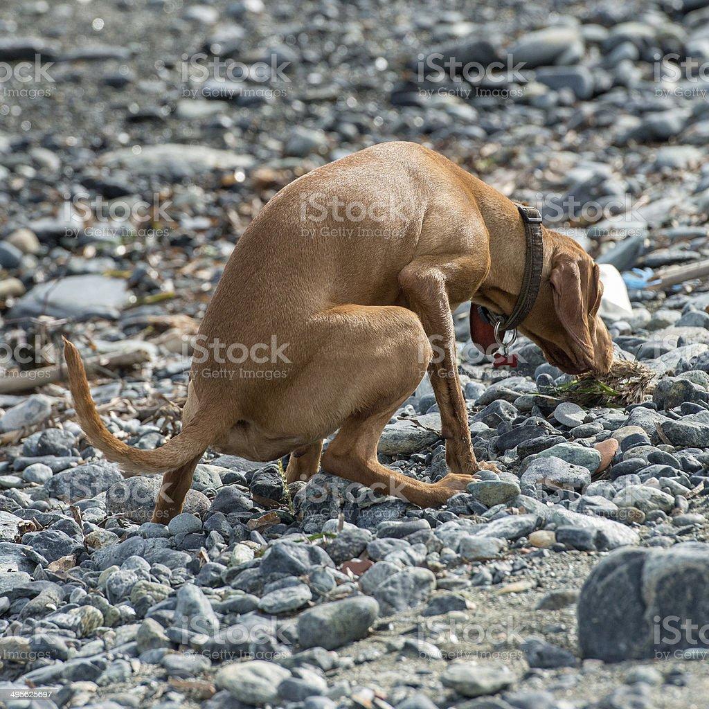 pee on the beach royalty-free stock photo