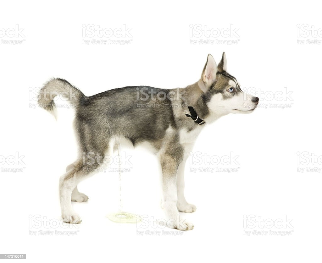 Peeing puppy royalty-free stock photo