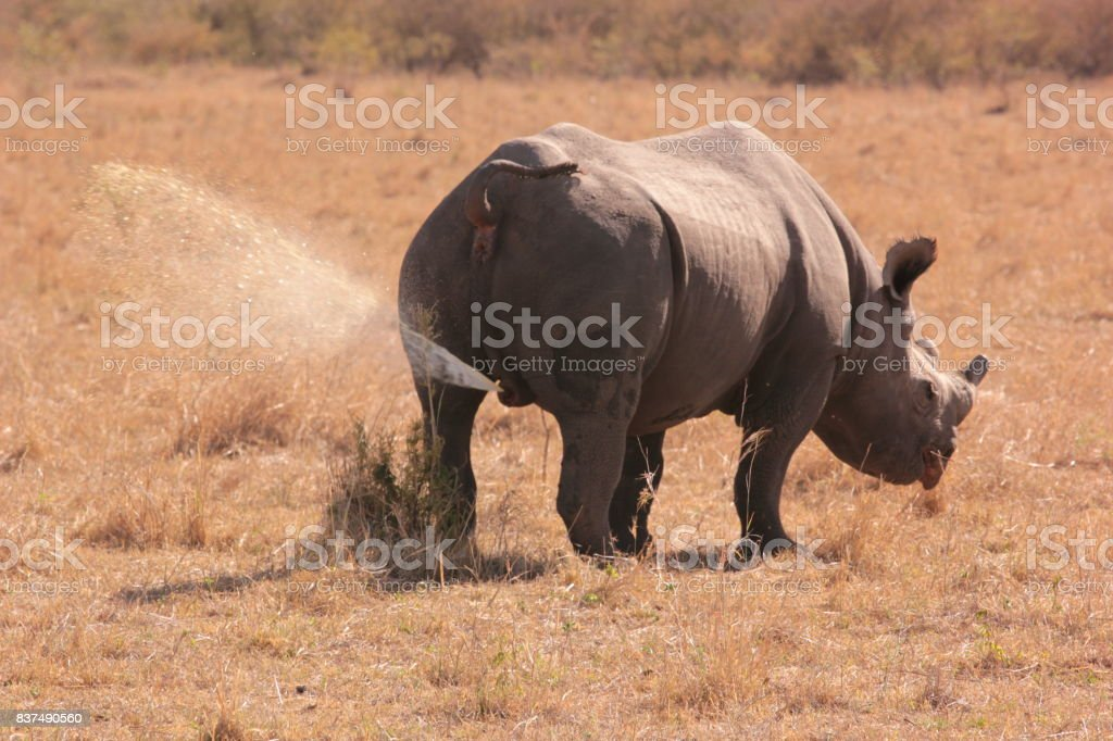 peeing rhino stock photo