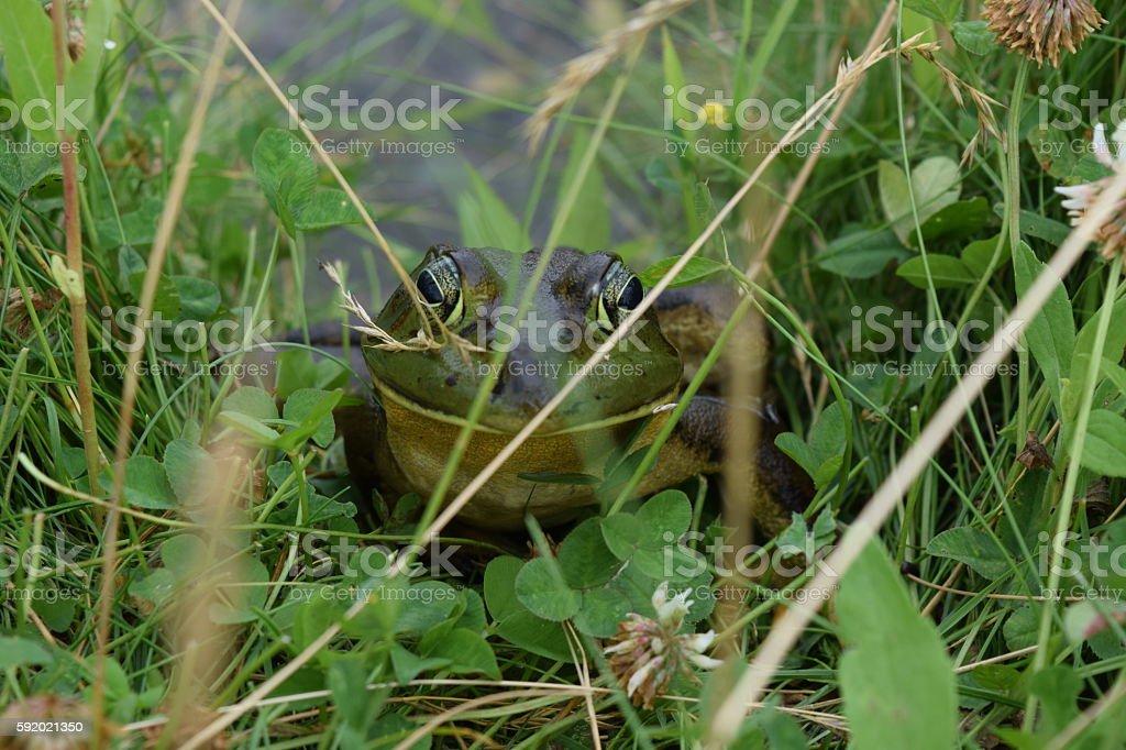Peek-a-boo Bullfrog stock photo