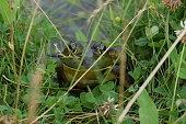 Peek-a-boo Bullfrog
