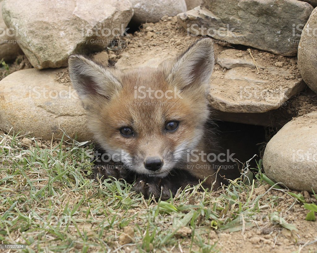 Peek-a-boo fox kit stock photo