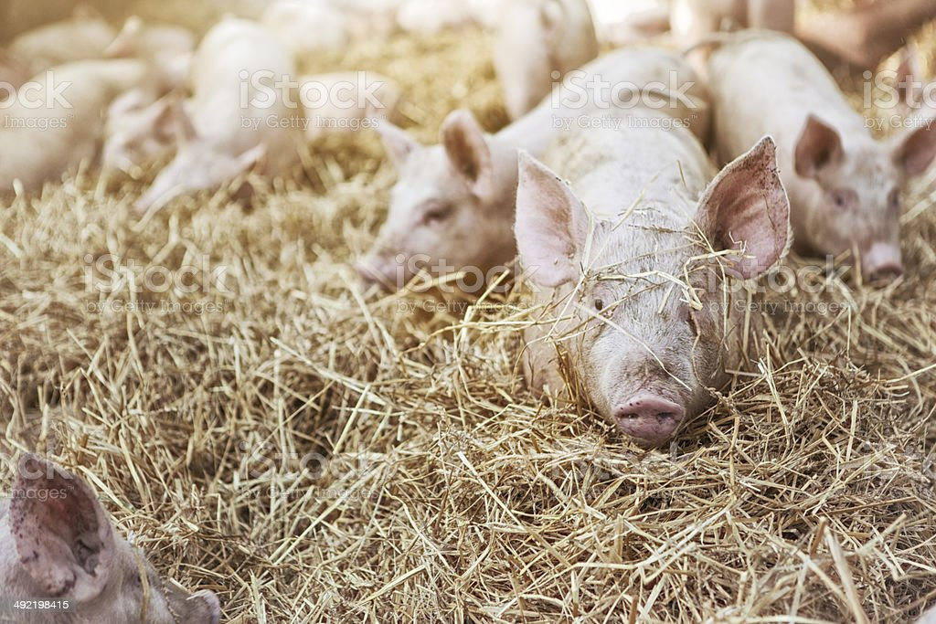 Peekaboo Pig royalty-free stock photo