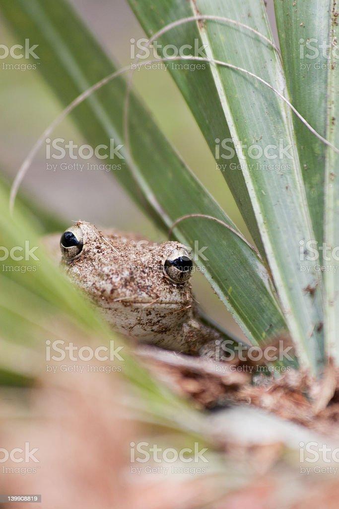 Peeking Frog stock photo