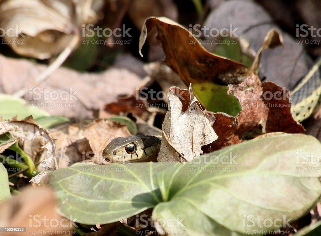 peeking garter snake royalty-free stock photo