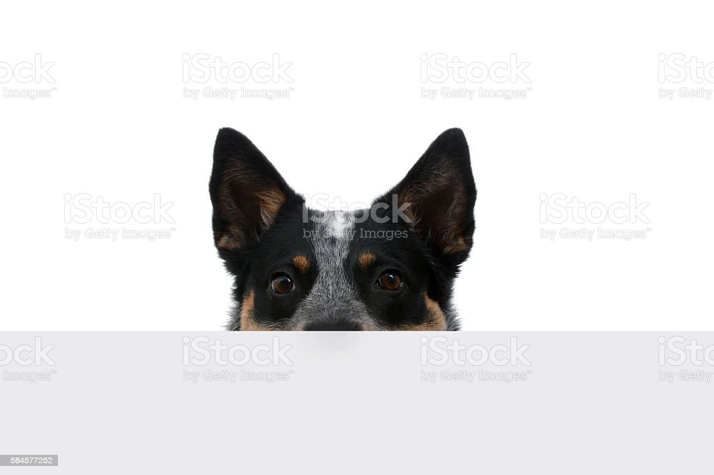 Peeking Puppy stock photo