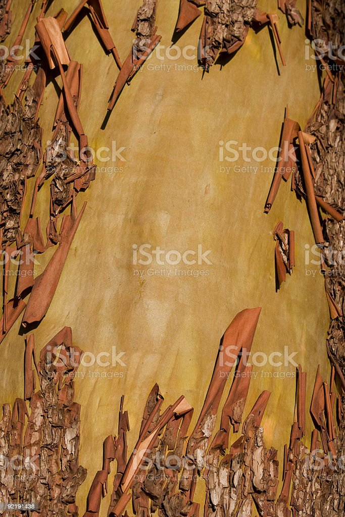 Peeling Arbutus Bark stock photo
