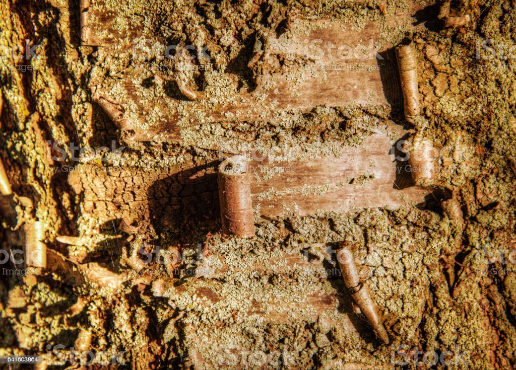 Peeling Tree Bark on Cherry Blossom stock photo