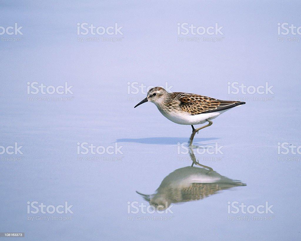 Peep Sandpiper in Water stock photo