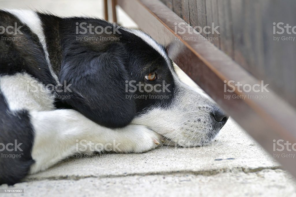 Peeper Dog Is Watching royalty-free stock photo