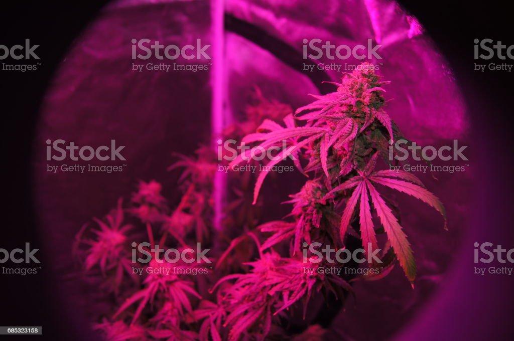 Peephole View of Flowering Cannabis Sativa Plant stock photo