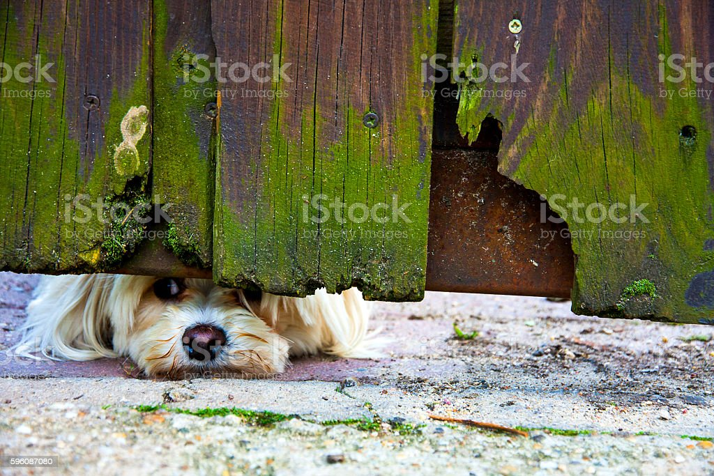 Peeping dog stock photo