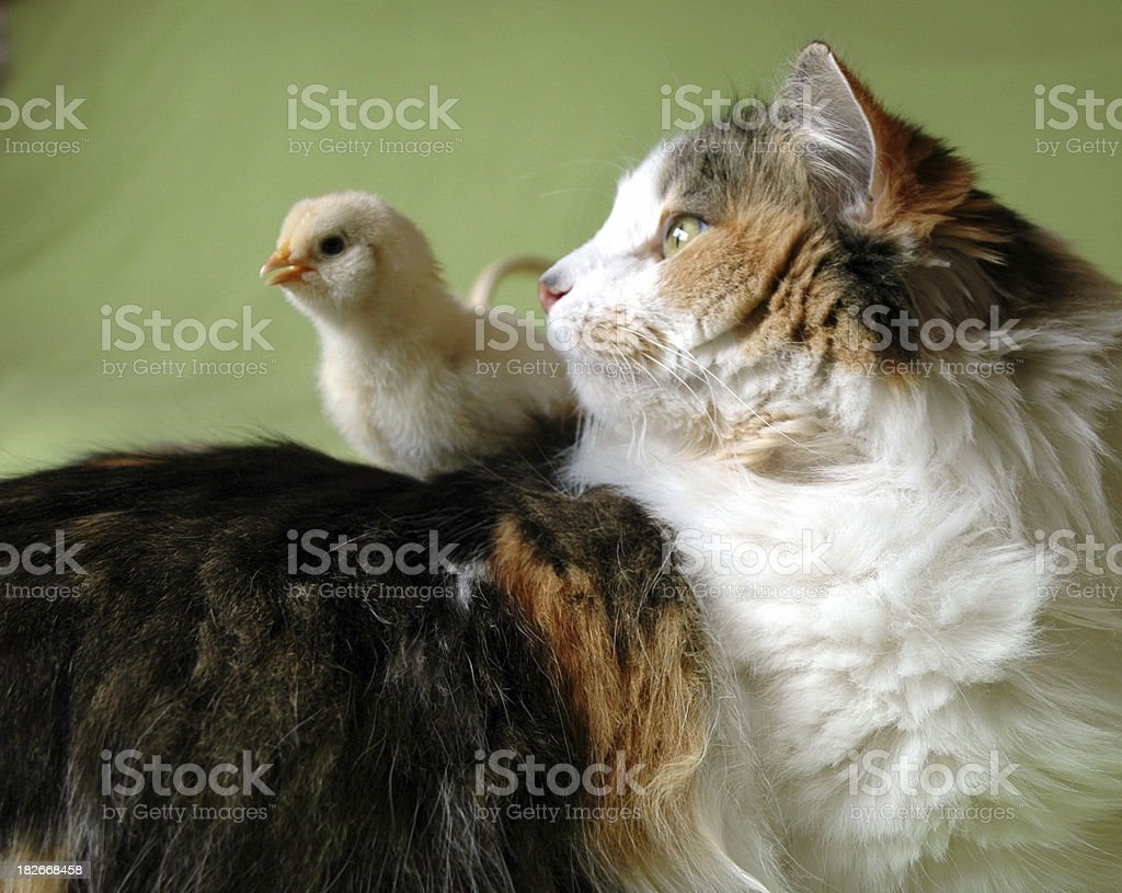 Peeps for Cats royalty-free stock photo