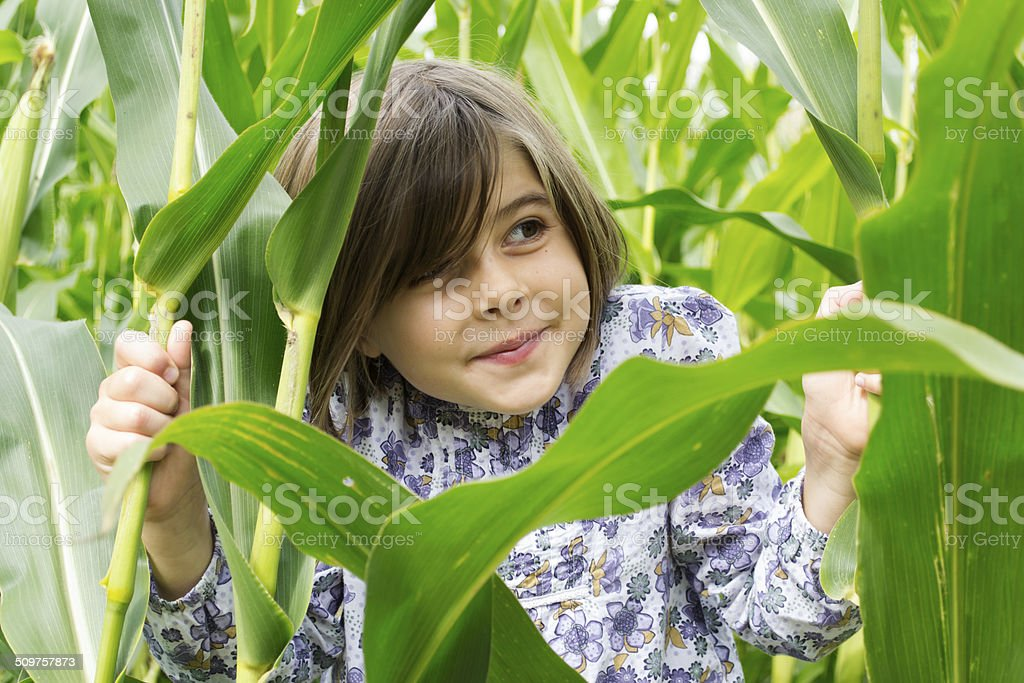 Peering out of the cornfield stock photo