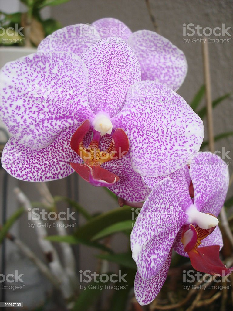 Peggy's Orchid royalty-free stock photo