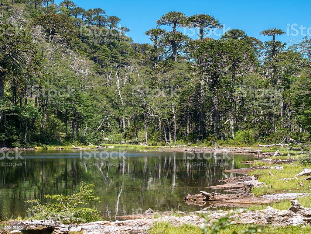 Pehuen trees near Pucon royalty-free stock photo