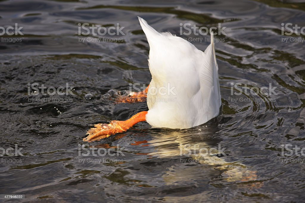 Pekin Duck Anas platyrhynchos Diving Underwater stock photo