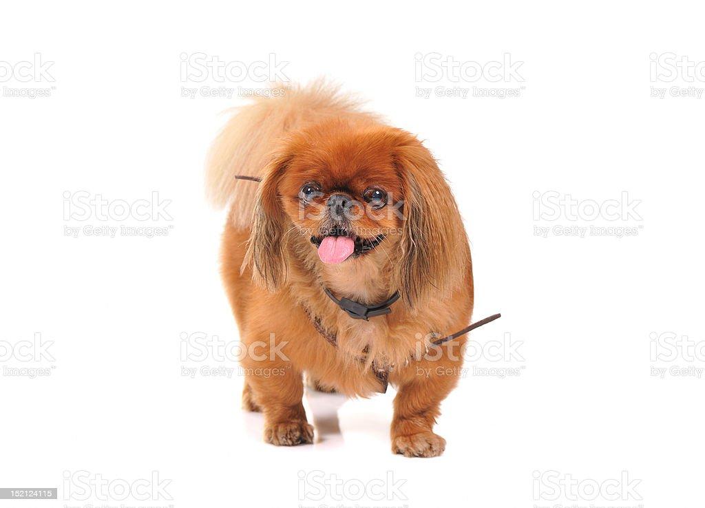 pekinese dog royalty-free stock photo