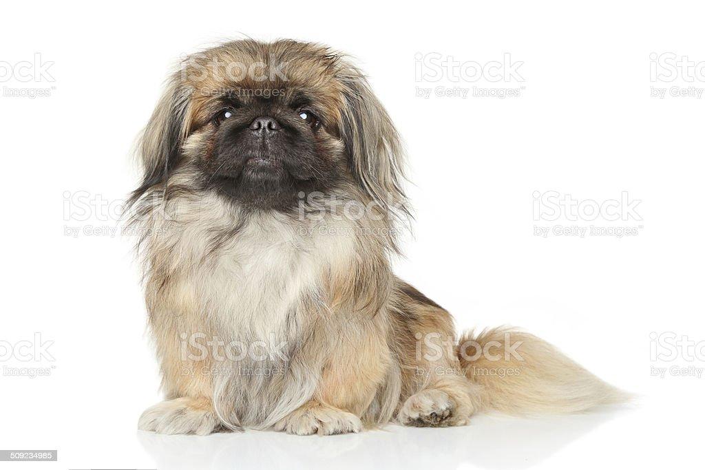 Pekinese dog stock photo
