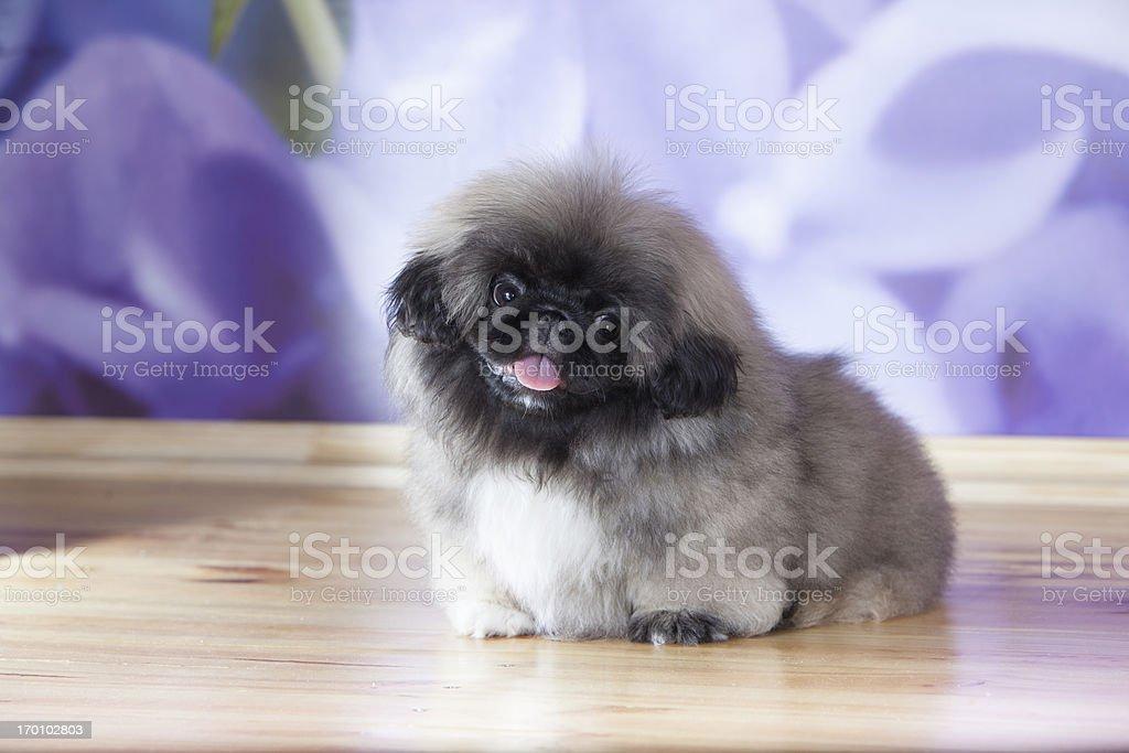 Pekinese puppy stock photo