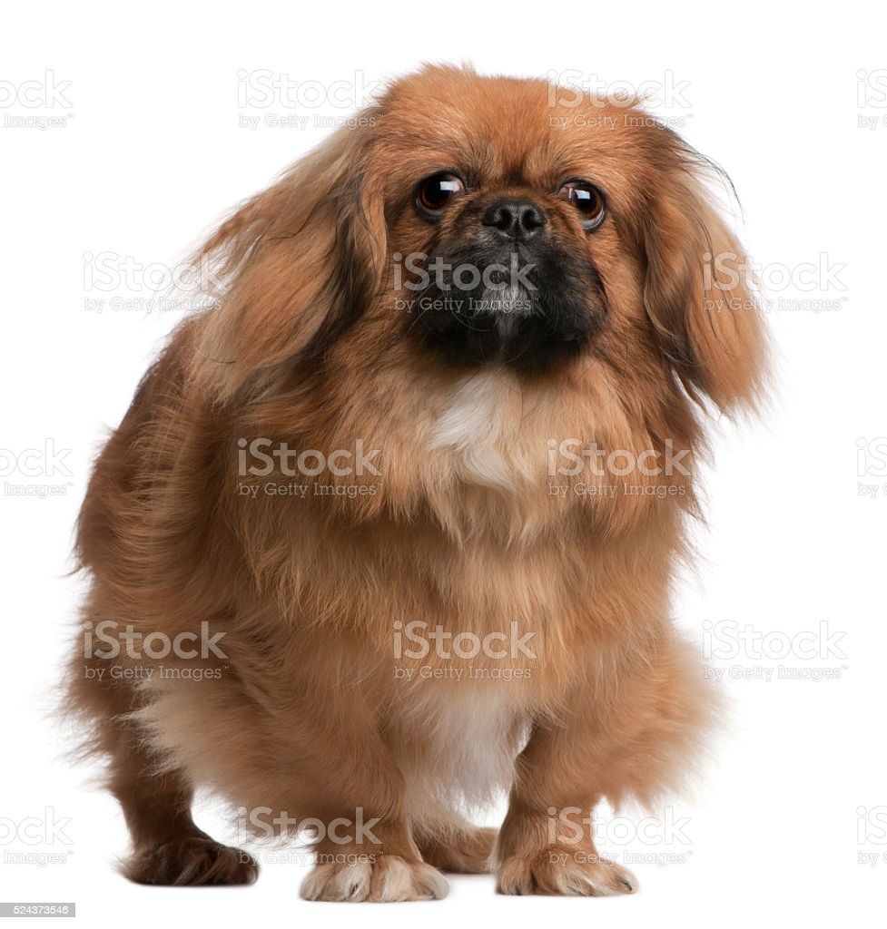 Pekingese, 8 months old, standing in front of white background stock photo