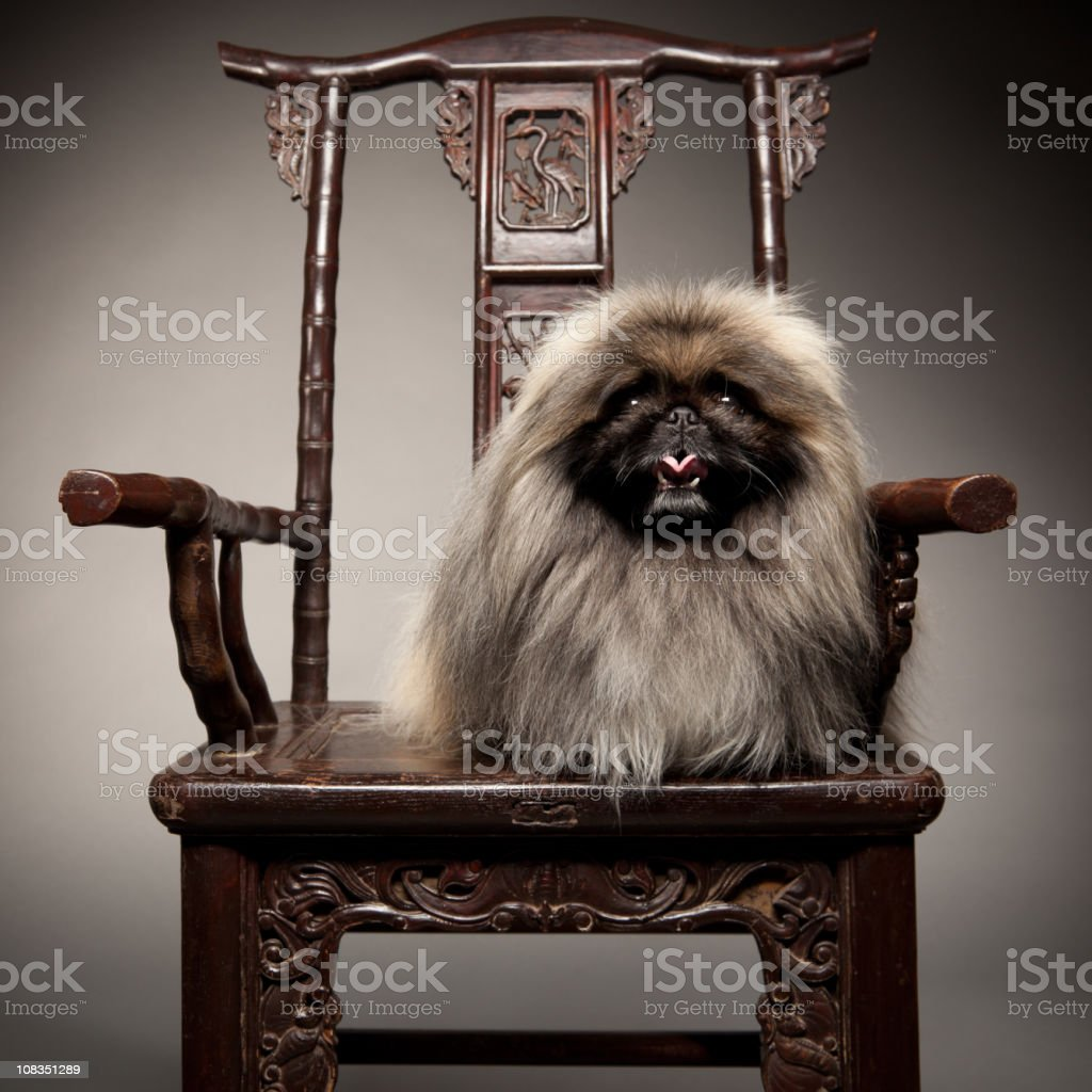 Pekingese Dog Sits on 19th Century Chair Like Royalty. stock photo