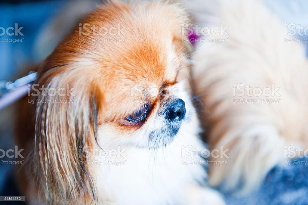 Pekingese Portrait stock photo