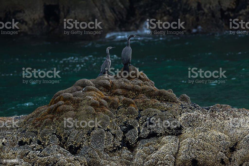 Pelagic cormorant nesting on the rocks in Pacific Ocean. stock photo