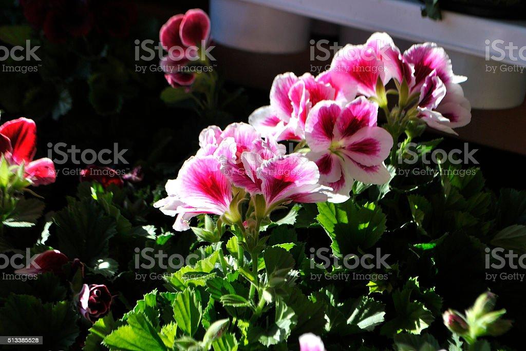 Pelargonium flowers. stock photo