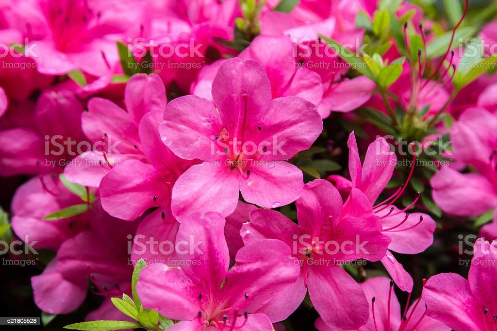 Pelargonium geranium group bright cerise pink flowers stock photo