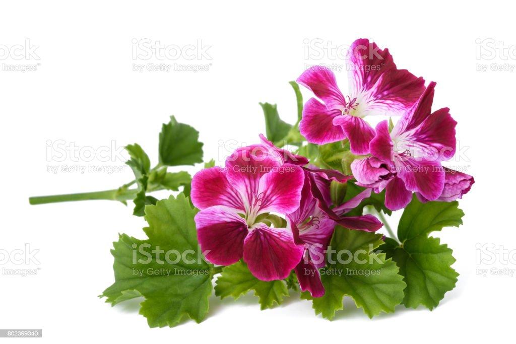 Pelargonium grandiflorum Imperial stock photo