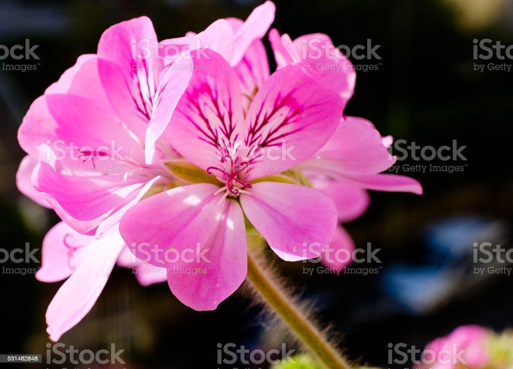 Pelargonium graveolens flower stock photo