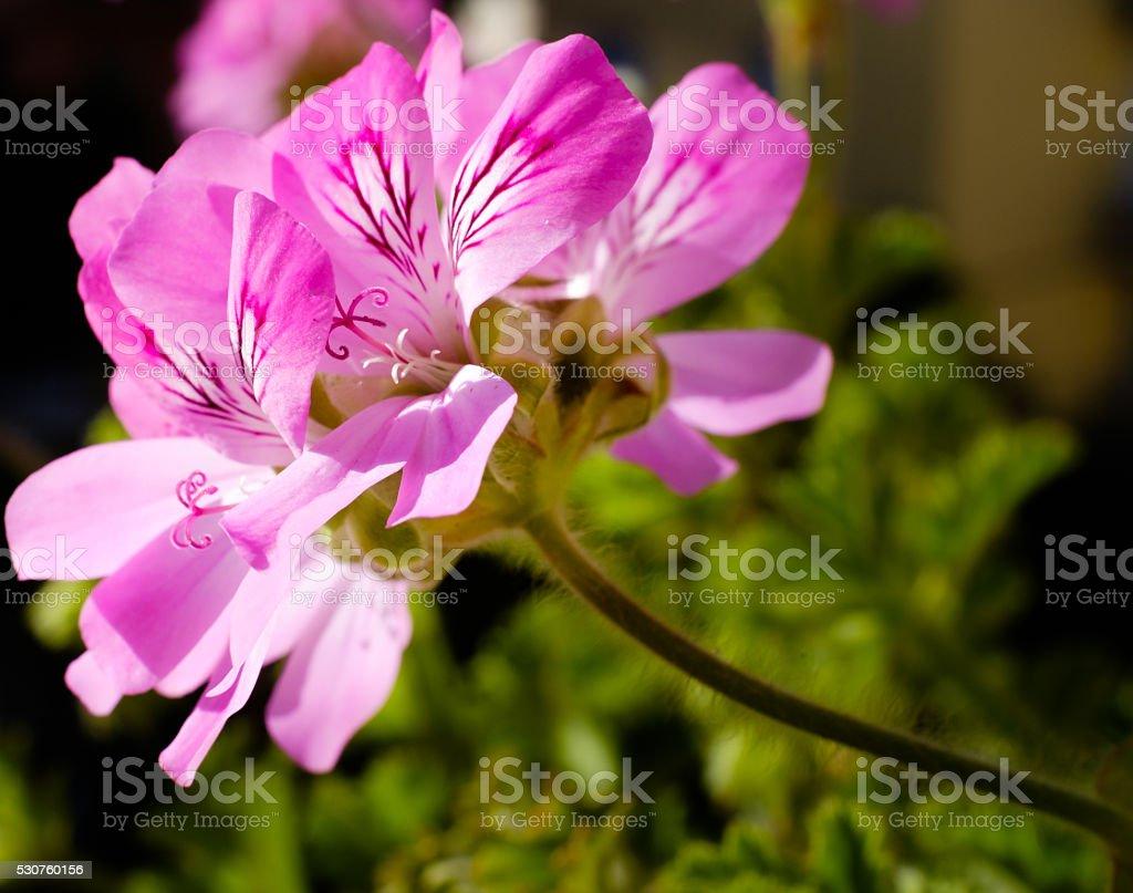 Pelargonium graveolens stock photo