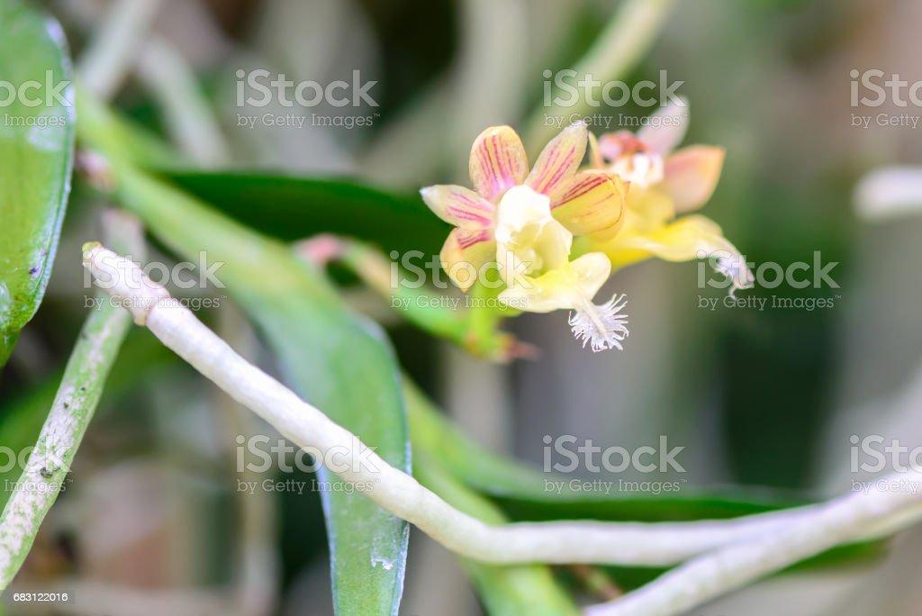 Pelatantheria bicuspidata, Rolfe ex Downie, Orchid flower. stock photo