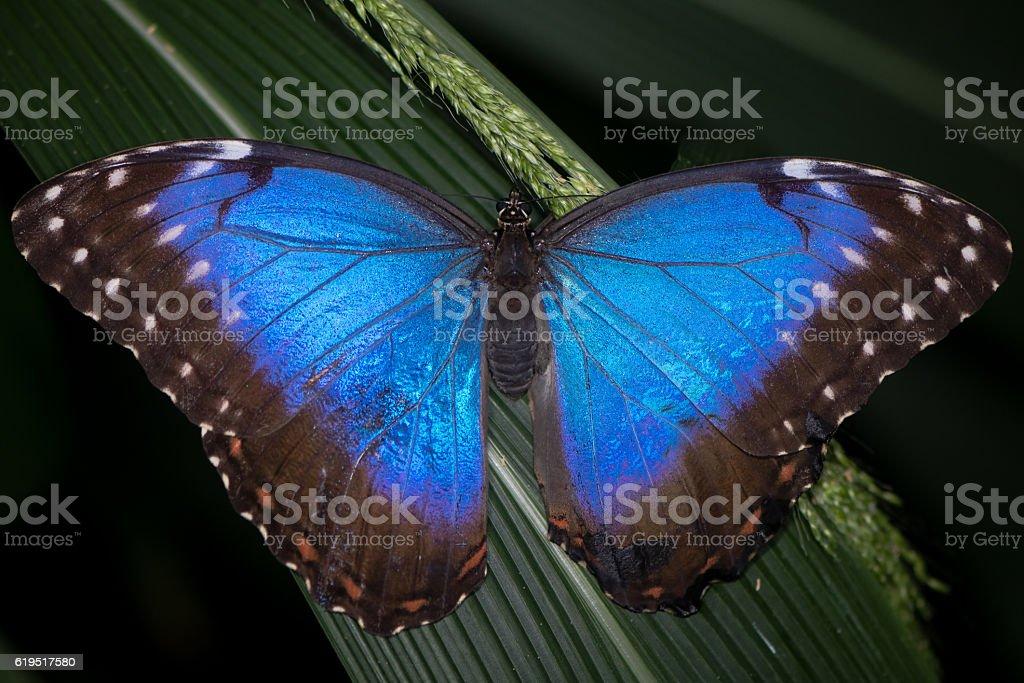 Peleides Blue Morpho (Morpho peleides) butterfly upperside stock photo