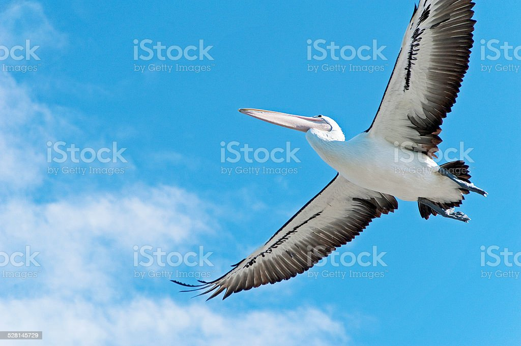 Pelican above stock photo