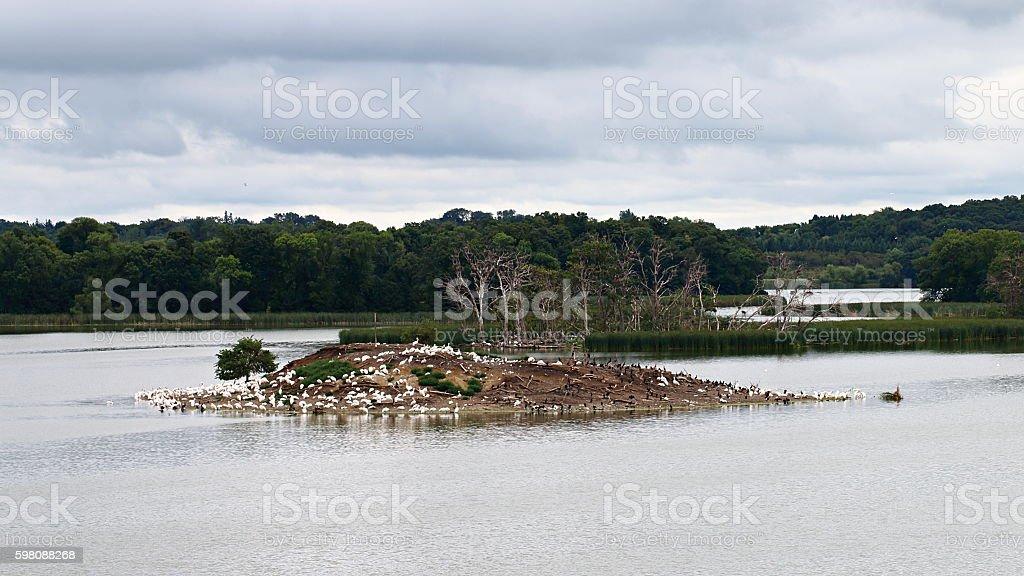 Pelican and Cormorant Rookery on Pigeon Lake Island stock photo