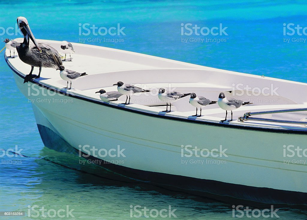 Pelican and seagulls resting on boat stock photo