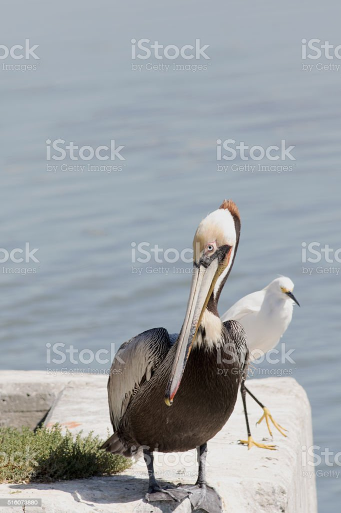 Pelican And White Egret stock photo