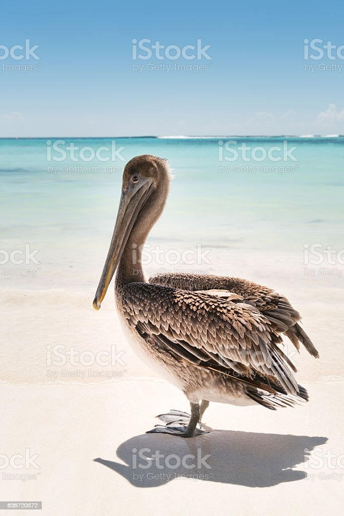 Pelican at the Beach, Searching for Food stock photo