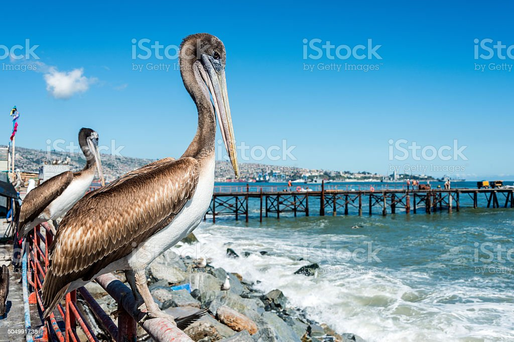 Pelican at the fish market of Valparaiso, Chile stock photo