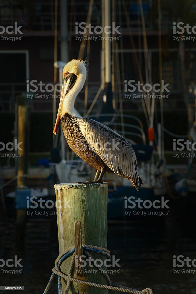 Pelican at the pier stock photo